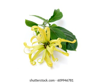 Cananga odorata isolated on white background,Magnolia,yellow spring flower