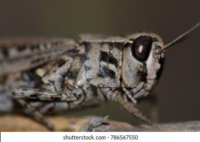 Canarian pincer grasshopper (Calliptamus plebeius). Female. Cruz de Pajonales. The Nublo Rural Park. Tejeda. Gran Canaria. Canary Islands. Spain.