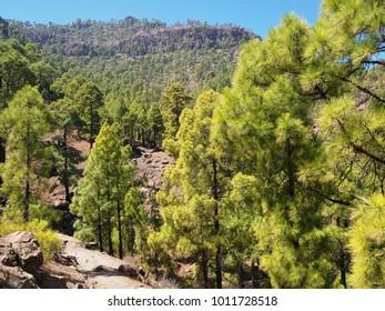 Canarian pine trees, Gran Canaria, Canary Islands