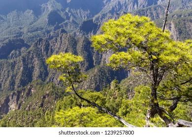 Canarian Pines at Caldera de Taburiente in La Palma, Canaruy Islands