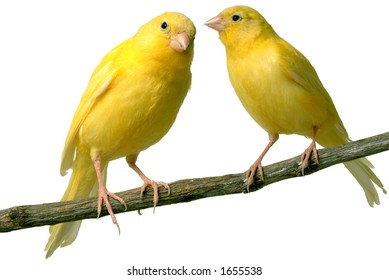 Canaries talking to each other
