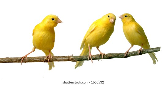 Canaries talking to each other while other is listening