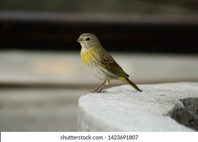 Canario da terra. The true canary (Sicalis flaveola) is also known as canary-da-horta, canary-da-telha (Santa Catarina), canary-do-campo, chapinha (Minas Gerais), canary (Bahia), altar boy and head of
