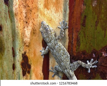 The Canary gecko (Tarentola delalandii) is an approximately 8 cm long, endemic gecko, here on the colorful, straight-barked trunk of a eucalyptus tree, in close-up. To see, the gray-blue spherical pim
