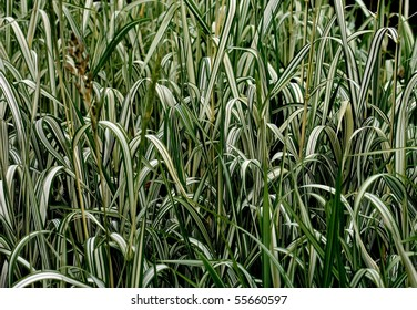 Canary Grass Background