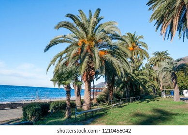 Canary Island Date Palm (Phoenix canariensis) in park, Abkhazia