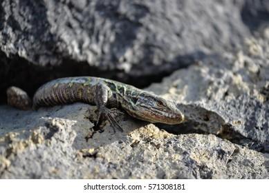 Canary Island Lizard