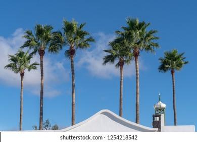 Canary Island palm tree, Lanzarote, Canary Islands, Spain