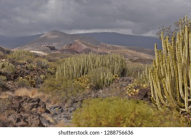 Canary Island spurge cacti growing in arid volcanic landscape of Tenerife south, Canary Islands Spain. Dark clouds forming during rainy winter season.