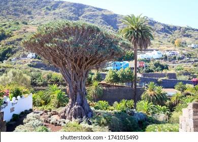 Canary Islands dragon tree El Drago Milenario in park Parque del Drago, Icod de los Vinos on Canary Island Tenerife, Spain - Shutterstock ID 1741015490
