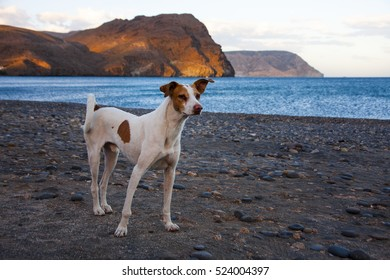 Canary Islands Hound on the beach of southern Spain, Andalusia