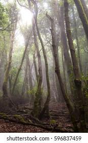 Canary Islands: La Gomera,  Garajonay national park,fog forest