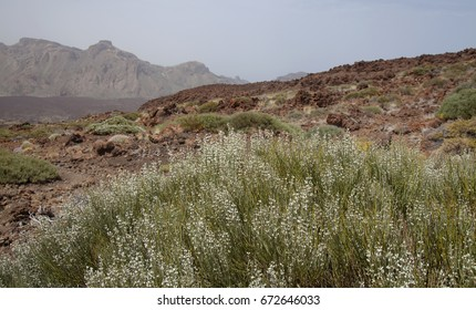 Canary Islands, Tenerife, white-flowering high altitude broom species Spartocytisus supranubius, Broom over clouds,  Retama del Teide, flowers on the south west slopes of the volcano,