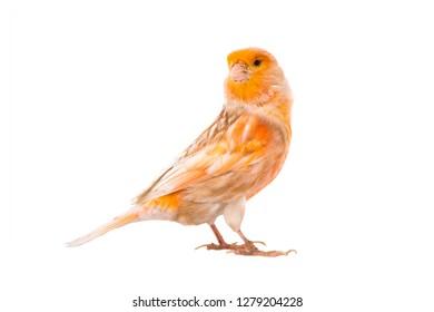 canary isolated on white background
