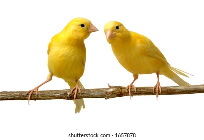A canary listen to a partner