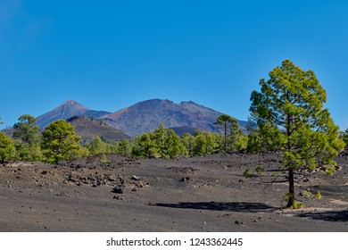 Canary Pine in the Corona Forestal Park, which is surrounded by Las Canadas del Teide. El Teide volcano in the background, Tenerife, Canary Islands, Spain