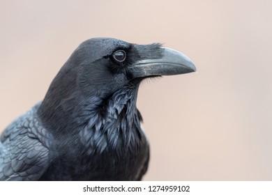 Canary Raven, Corvus tingitanus, Canary Islands, Fuerteventura