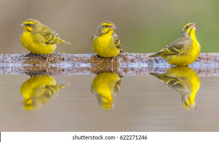 Canary Reflection