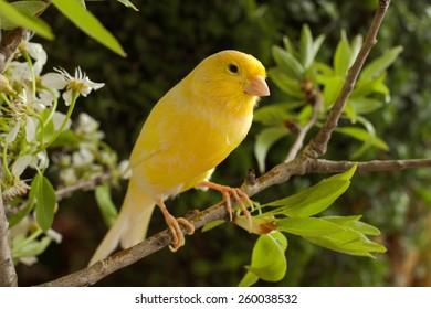 Canary-bird on a branch.