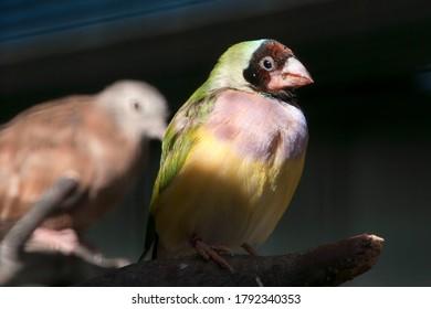 Canberra Australia, female gouldian finch perched in aviary