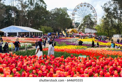 CANBERRA - AUSTRALIA: SEPTEMBER 14,2013: Blossom of tulips at Floriade Festival,Canberra, Australia. Floriade is Australia biggest celebration of spring. This iconic Canberra event.