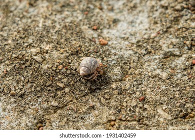 A Cancer hermit crab in a shell on beach. Tropical animal