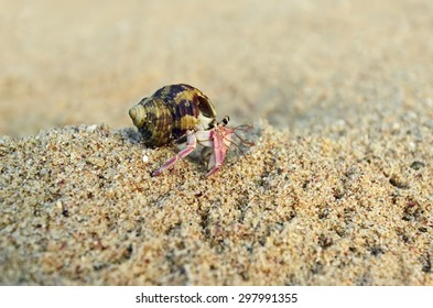 Cancer hermit on the coast of Sri Lanka