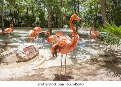 CANCUN, MEXICO - May 30 2017: Pink Flamingo in Xcaret eco-archaeological Park, Cancun, Mexico, May 30 2017