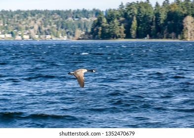 A Canda Goose flys across Lake Washington near Seattle.