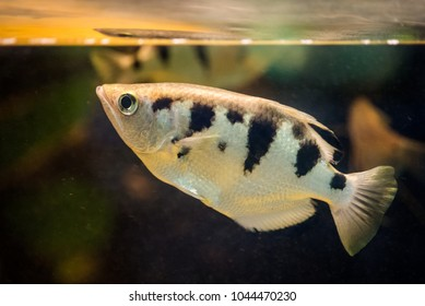 Canded archerfish (Toxotes jaculatrix) swimming in aquarium near water surface