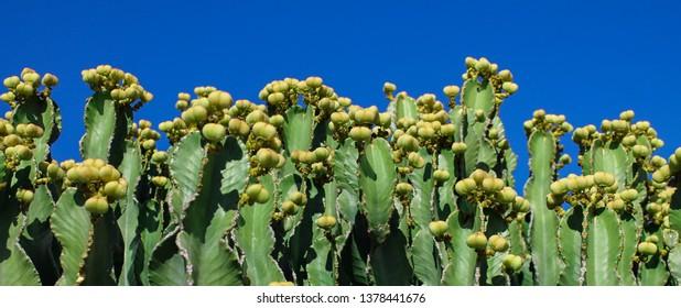 Candelabra tree (Euphorbia candelabrum) at blue sky background