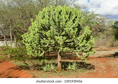 A Candelabra tree ( Euphorbia candelabrum ) with branches on a sunny afternoon, Kenya