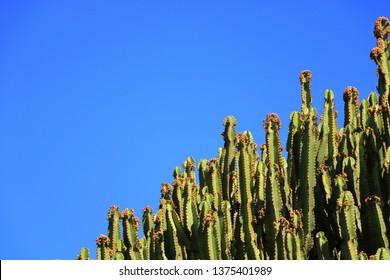 Candelabrum spurge against the blue sky, Euphorbia candelabrum, cactus, Canary Islands