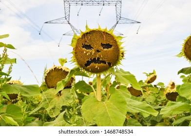 Candes- Saint-Martin, Indre-et-Loire Department, France - August 11, 2014 :  Sunflower with a sad face with electical transmission lines inbackground; seeds have been plucked out to make the face.