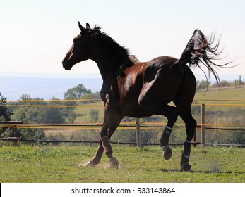 A candid shot of an American Saddlebred horse gallooping in a green pasture