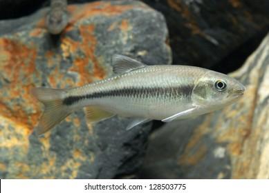 Candidia barbata (Lake-candidius chub)