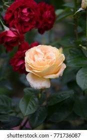 Candlelight Rose, Global Beauty Rose, The Fetzer Syrah Rose