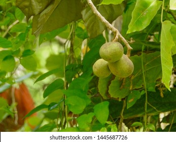 Candlenut fruits hanging from a branch