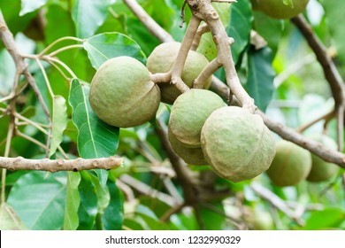 Candlenut or kukui  fruit hanging on tree branch