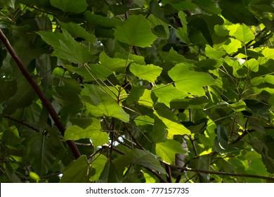 Candlenut's greenleaves(Aleurites moluccanus)