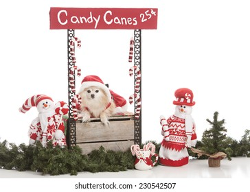 Candy Canes for Sale.  Adorable Pomeranian wearing a Mrs. Clause dress sitting in a Candy Cane booth.  Isolated on white with room for your text.