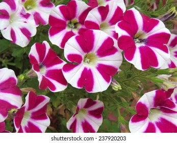 Candy striped petunia flowers with red and white petals