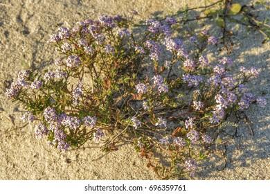 Candytuft flowers, Iberis procumbens, growing on coastal dunes of Galicia, Spain