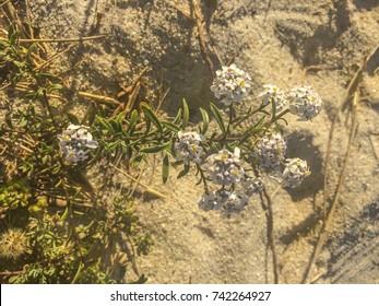 Candytuft flowers, Iberis procumbens, growing on coastal sandy dunes of Galicia, Spain