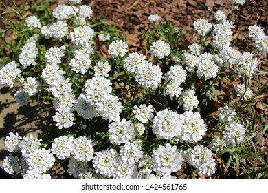 Candytuft white blossom perennial evergreen flowering plant in bloom. Latin name is Iberus sempervirens. Perfect as permanent edging for border or rock garden.