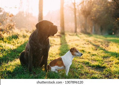 Cane corse and jack Russell dogs together outside