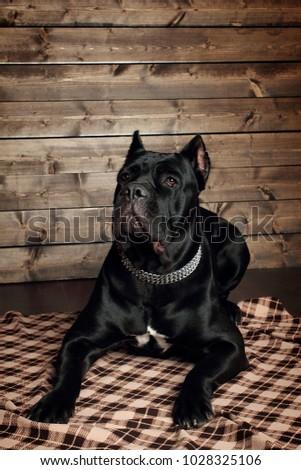 Cane Corso Black Dog On Brown Stock Photo Edit Now 1028325106