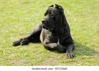 Cane corso dog in the garden