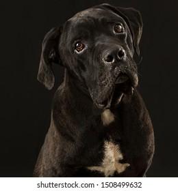 Cane corso dog portraits in studio