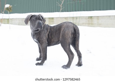 cane corso dog puppy stand winter turn back outdoor